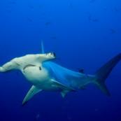requin-marteauOK