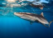 Une des attractions des Jardins de la Reine : le ballet des requins !