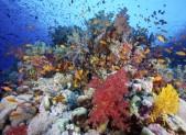 Anthias et alcyonaires en mer Rouge