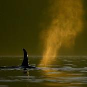 Souffle d'une orque en Alaska