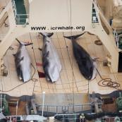 Baleines abattues par des pêcheurs japonais