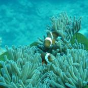 poisson-clown-grande-barriere-corail-australie