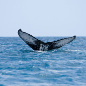 Les baleines sont toujours la cible des pêcheurs japonais.