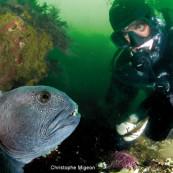 Plongeur et poisson loup (Islande).