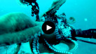 Un poulpe s'empare de l'appareil photo d'un plongeur.