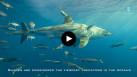 Les requins, des prédateurs essentiels pour les océans
