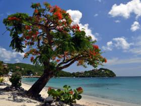 Flamboyant en fleurs sur une plage martiniquaise