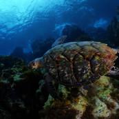 Une tortue dans les eaux martiniquaises