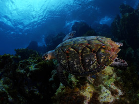 tortue-eaux-martinique