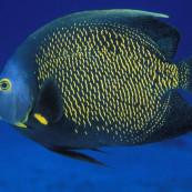 poisson-ange-francais