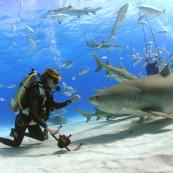Plongeur et requin tigre