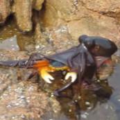Vidéo d'un poulpe attaquant un crabe