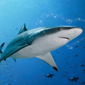 Requin de la Saint-Valentin