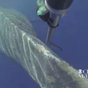 Sauvetage d'une baleine à bosse