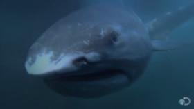 requin-grande-gueule