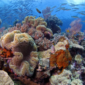 Coraux de Wakatobi