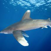requin-oceanic-longimane-longimanus