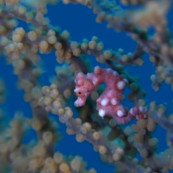 hippocampe-pygmee-gorgone