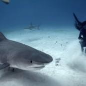Vidéo d'une danseuse au milieu des requins tigres