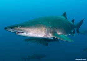 requins-taureaux