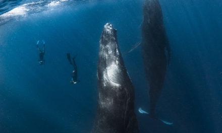 Dans Plongeurs International 147. Tonga
