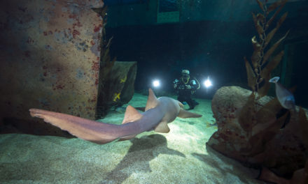 Dans Plongeurs International 147. Requins