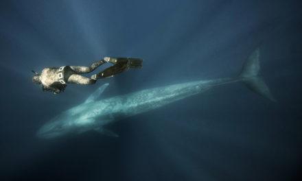 Açores, dans le numéro 148 plongez avec les baleines bleues