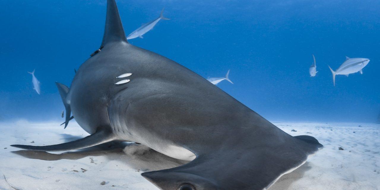 Salon 2020 : les requins et cétacés à l'honneur